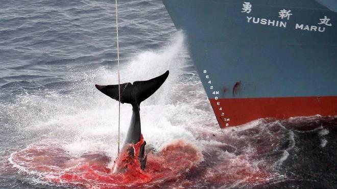 Japan first: Ab heute tötet Japan wieder kommerziell Wale