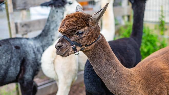 Ein Alpaka hat es zu weltweiter Berühmtheit gebracht