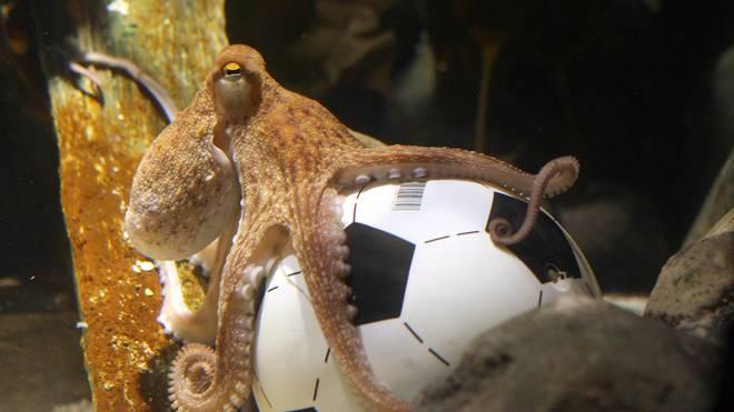 Octopus Paul erlangte 2010 Berühmtheit