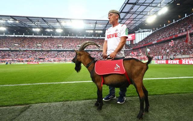 Hennes IX ist seit 2018 Maskottchen des 1. FC Köln