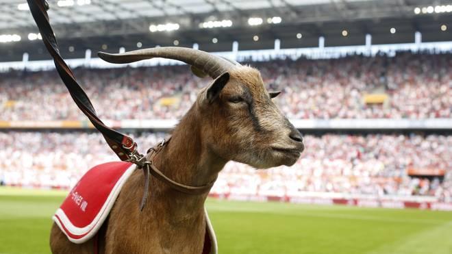 Hennes VIII. wird vom 1. FC Köln in den Ruhestand verabschiedet