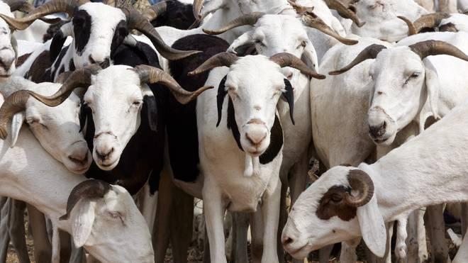 Der türkische Klub Gülspor hat Spieler verkauft, um dafür Ziegen zu erwerben